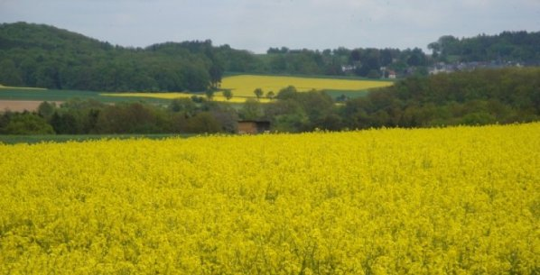 Rapeseed fields in Villmar, Germany